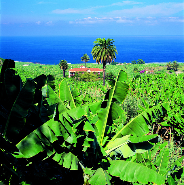 Banany-na-Kanarskih-ostrovah-ostrovah