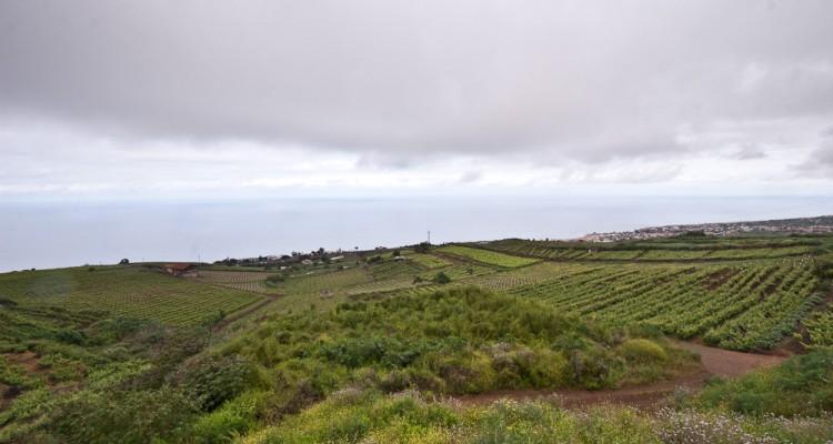 Vinogradarstvo-na-vy-sotah-Tenerife