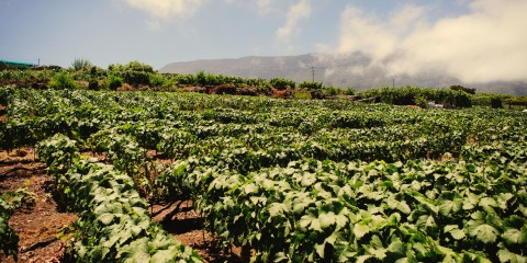 vinograd-vino-vinogradnik-tenerife-produkty-kanarskie-ostrova